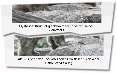 """""""Mysteriös: Knut völlig schwarz am Todestag seines Ziehvaters (...) Als würde er den Tod von Thomas Dörflein spüren – der Eisbär wirkt traurig"""""""