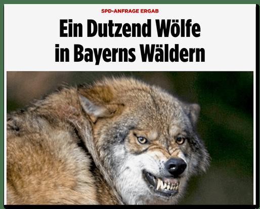 Screenshot Bild.de: Ein Dutzend Wölfe in Bayerns Wäldern - dazu ein Foto eines Wolfes, der die Zähne fletscht