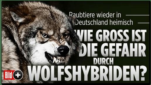 Screenshot Bild.de - Raubtiere wieder in Deutschland heimisch - Wie groß ist die Gefahr durch Wolfshybriden?