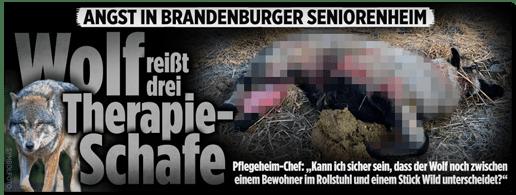 Screenshot Bild.de - Angst in Brandenburger Seniorenheim - Wolf reißt drei Therapie-Schafe - Pflegeheim-Chef: Kann ich sicher sein, dass der Wolf noch zwischen einem Bewohner im Rollstuhl und einem Stück Wild unterscheidet?